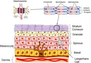 The importance of stratum corneum in healthy looking skin